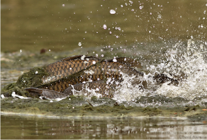 Smaller males surround a larger female carp on their way up the Los Angeles River. (Derek Bourassa).