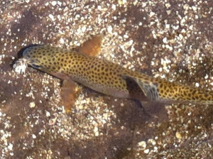 This brown got fooled by a lot of elk hair caddis on a size 14 hook. (Jim Burns)