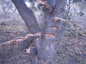 Damage can be seen on the trunk of this native Oak at the South Reserve. (Courtesy Glenn Bailey)