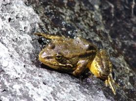 The endangered Mountain Yellow-Legged Frog. (Creative Commons)