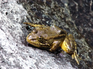 The endangered Mountain Yellow-Legged Frog. (Creative Commons)