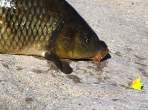 The L.A. River Glo-Bug in chartreuse has captured many a wary carp. (Jim Burns)