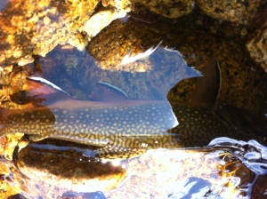 This high-country brook trout wears its hybridized spots well. (Will Burns)