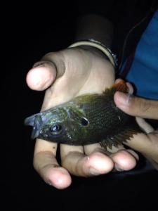 Green sunfish are one of the pllars of the L.R. River ecosystem, and fun to catch as well. (B. Roderick Spilman)
