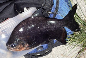 EXOTIC: This pacu, usually hanging out in the Amazon, got hooked on the L.A. River. (James Czasonis)
