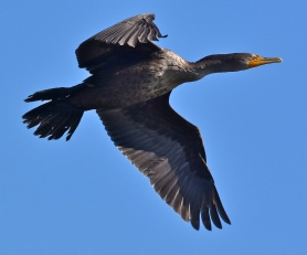 Cormorant (All images courtesy of the Natural History Museum of Los Angeles County)