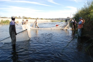 SEINE NETS yield 3,000 tilapia fry in Haskell Creek above Sepulveda Dam on Friday. (William Preston Bowling)