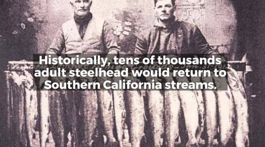 Steelhead