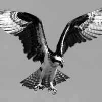 'The Osprey' spreads its wings