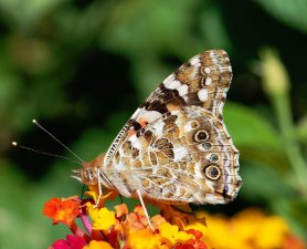Painted-Lady_1024px-Butterfly_August_2008-3_web