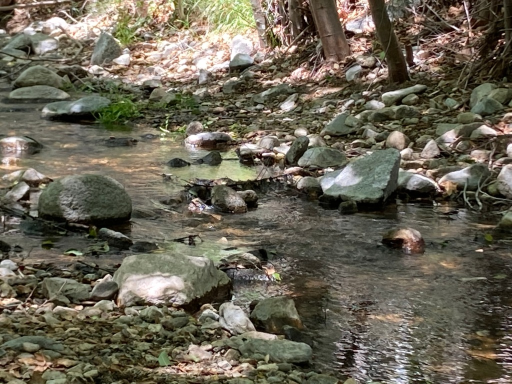 An incredible story of disappearing water, relocated trout and the thirsty needs of Pasadena.